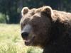 bear_std