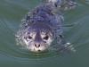 seal-pup_std