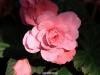 begonia-in-morning-dew_std